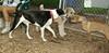 jack (puP), Hank, Jack (ridgeback pup)_001