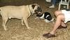 Gus (mastiff), Jack (pup)_001