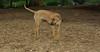 Jack (ridgeback pup)_001