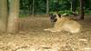 Gus (bull mastiff)_004