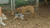 henry (pup), Jack (Ridgeback pup)_002