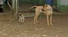 henry (pup), Jack (Ridgeback pup)_001