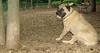 Gus (bull mastiff)_002