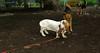 Bassett hound_003