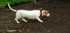 Bassett hound_002