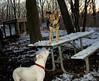 Max (pitbull pup), Maddie_001