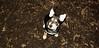 Trixie (puppy)_001