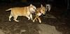 Stack (new pup), Brandy (bulldog 11yr)_001