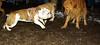 Casey (KC), Roxy (bulldog pup)_001