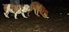 Stack (new pup), Roxy (bulldog pup)_003