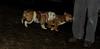 Stack (new pup), Roxy (bulldog pup)_002