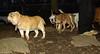 Stack (new pup), Roxy (bulldog pup)_004