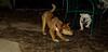 Stack (new pup), Roxy (bulldog pup)_001