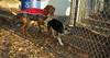 Buddy (new puppy), Cleo (pup vizsla)_003