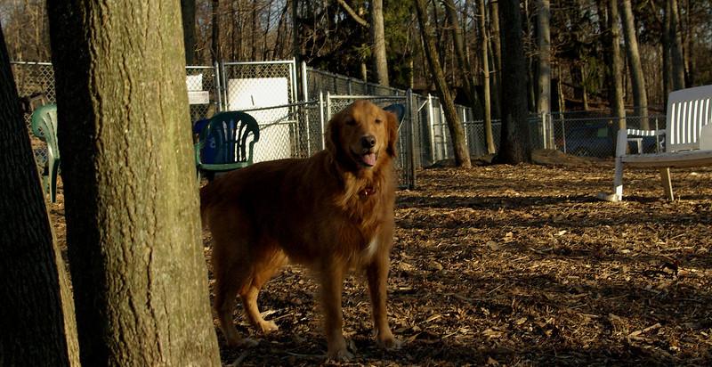 Casey (golden retriever)_001