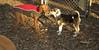 Buddy (new puppy), Cleo (pup vizsla)_002