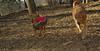 Cleo (pup), Casey ( golden retriever)_001