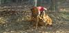 Cleo (pup), Casey ( golden retriever)_002