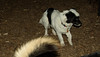 Rudy (new puppy, joe,  jack)_001