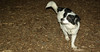 Rudy (new puppy, joe,  jack)_002