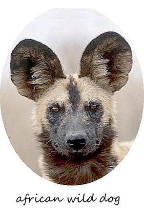 African-Wild-Dog-