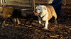 BUDDY (young bulldog)_00002