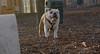 BUDDY (young bulldog)_00001
