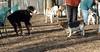 Bernese pup, chelsea_00002