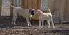 Butch, Hudson (mastiff)_00001