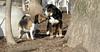 Bernese pup, chelsea_00001