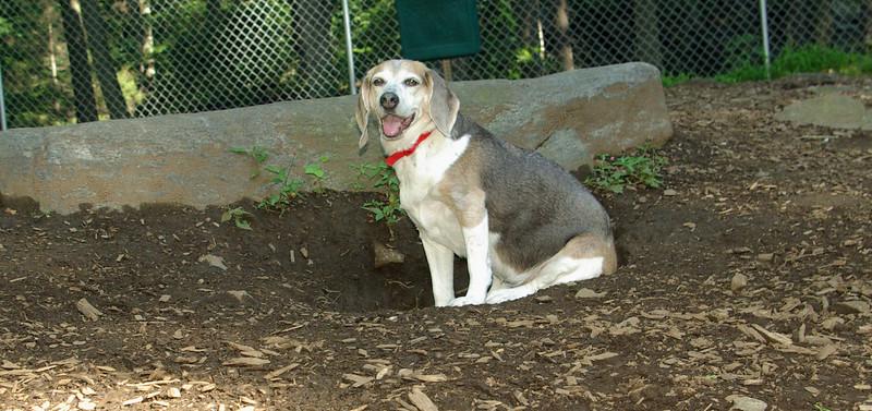 annette ( 12 yr  beagle)_00007