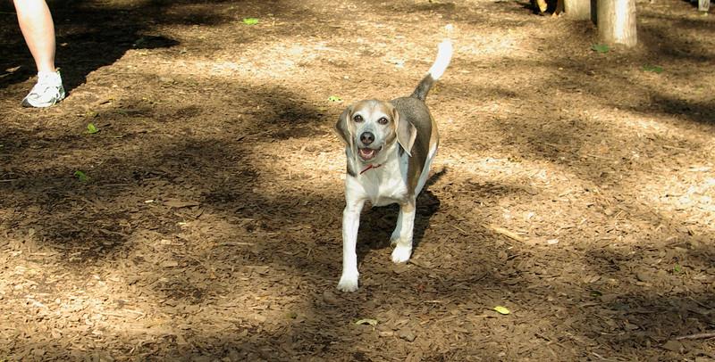 Annette (12 yr  beagle)_00006