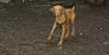 Cleo (puppy viszla)_001
