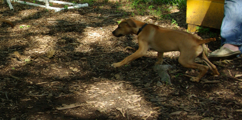 jack (ridgeback puppy)_00006