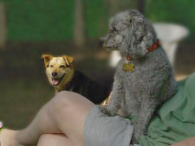 Maddie, miles (poodle)_00001