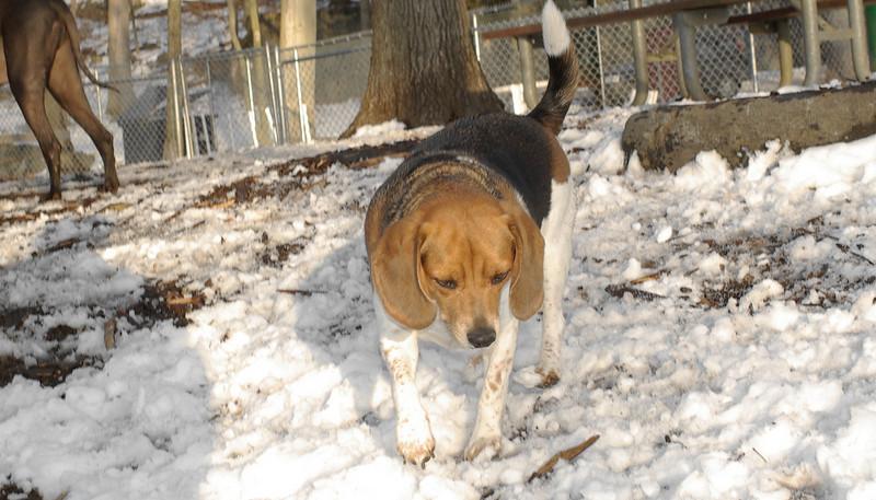 Chelsea (beagle)_00002