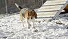 Chelsea (beagle)_00001