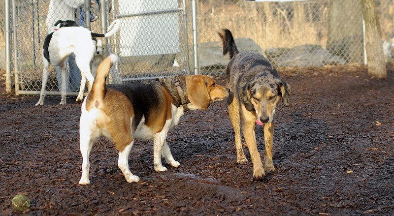 Becky, Chelsea (beagle)_00001