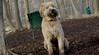 Hank (wheaten pup)_00007