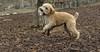 Hank (wheaten pup)_00004