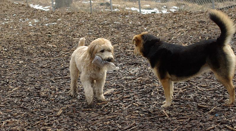 Hank (wheaten pup), Maddie_00001