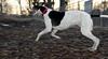 Knightly (greyhound)_00003