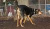 Sammy (coonhound)_00001