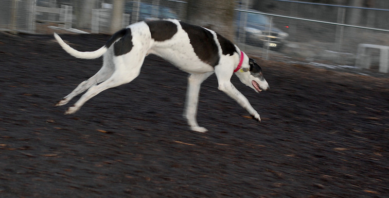 Knightly (greyhound)_00002
