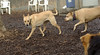 Roxy (carolina dog), Lucy (PB)_00001
