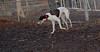 Chase (greyhound)_00004
