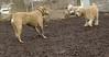 Hank (wheaten pup), Lucy (PB)_00002