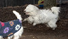 Petey (tibetan terrier)_00003