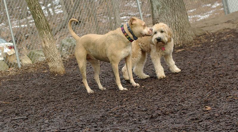 Hank (wheaten pup), Lucy (PB)_00001