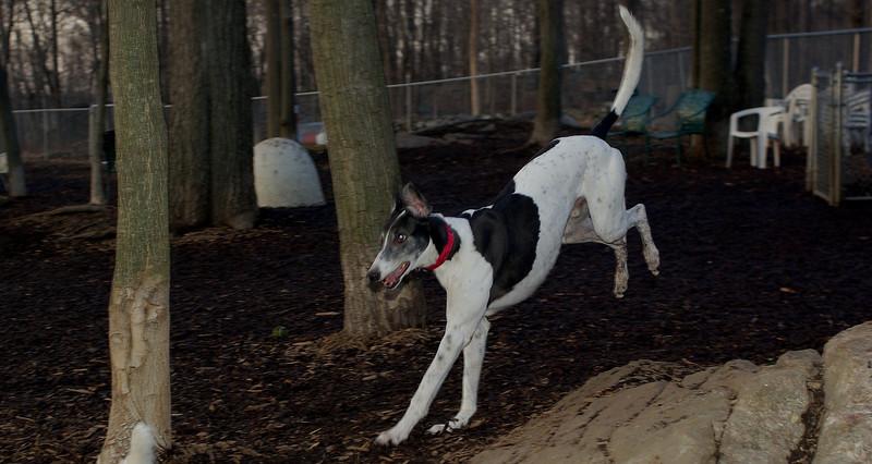 Knightly (greyhound)_00004